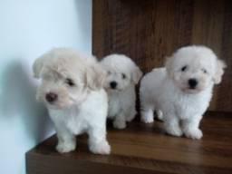 Lindos filhotes de poodle machinhos com 45 dias