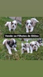 Título do anúncio: Vende-se Filhotes de Shitzu