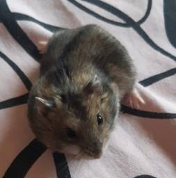Hamster Anão Russo/Chinês