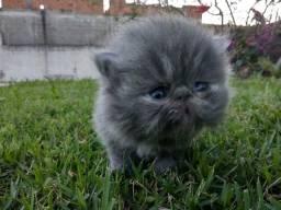 Lindo gato persa filhote