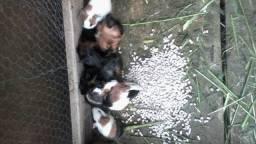 Filhotes de porquinho da india