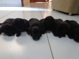 6 Filhotes de Golden Retriever Preto