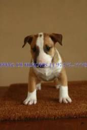 Bull Terrier Inglês alto padrão, filhotes de otima qualidade genética, com pedigree