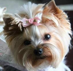 Yorkshire Terrier adoráveis filhotes