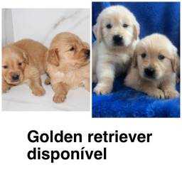 Golden retriever com pedigree e micro chip em até 18x