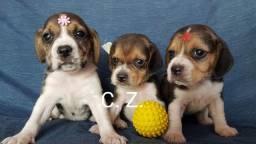 Ótima linhagem!! Beagle disponíveis para entrega. - Com garantia de saúde e pedigree
