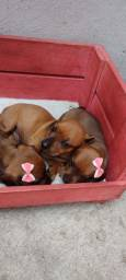 Filhotes de Dachshund