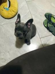 Bulldog francês BLUE ( Macho )