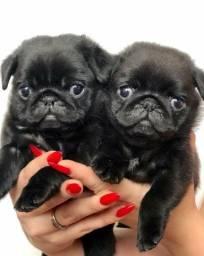 Pug machos e fêmeas, abricots e pretos,  para maiores informações *