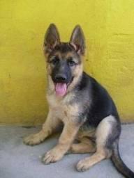 Título do anúncio: Pastor Alemão filhotes disponíveis para entrega, cães com pedigree