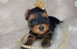 Princesa linda de yorkshire terrier disponível