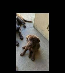 Vendo Filhote de Labrador Retriever