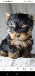 Título do anúncio: Filhotes de yorkshire Terrier, fêmeas e machos.