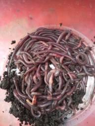 700 minhocas + 15 litros de húmus/Serragem/Esterco Bovino Peneirado