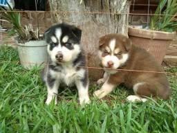 Husky Siberiano cinza\ marrom\ preto e branco, olhos azuis e bi colores !<br><br><br>