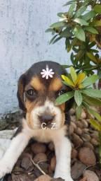 Beagle / Macho e fêmea. - Com pedigree e garantia de saúde