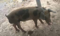 Vendo um porco