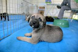 Labrador x dog brasileiro só 100