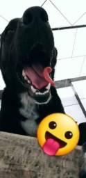 Doa-se cachorro labrador