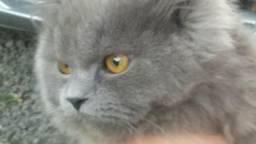Gato persa namoro