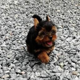 York Shire Terrier MINI ( promo ultimo filhote)