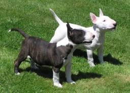 Belos filhotes de Bull Terrier pronta entrega