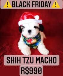 Promoção! Shih Tzu macho lindo R$990