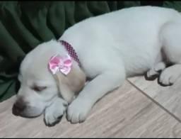Labrador Filhote RS: 300 (Cada)