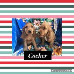 Cocker com pedigree e microchip em até 18x