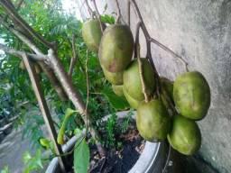 Frutíferas (Menor Preço)