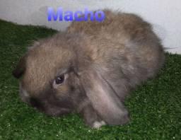 Promoção de coelho mini lop