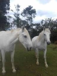 Vende-se 2 cavalo de raça