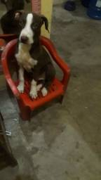 Título do anúncio: venda de filhote  de pitbull