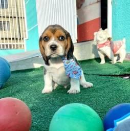 Título do anúncio: Beagle filhote!!