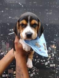 Beagle - Tricolor e Bicolor - Macho e Fêmea Disponível