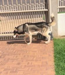 Husky procura namorada