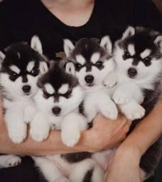 Husky Siberiano padrão internacional e magnifico da raça!