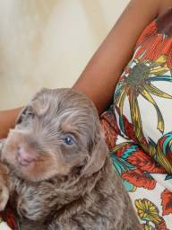Título do anúncio: Poodle com Maltês