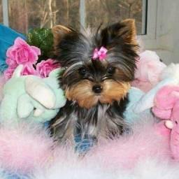 Yorkshire Terrier Fêmeas Filhotes Pedigree Garantia de saúde