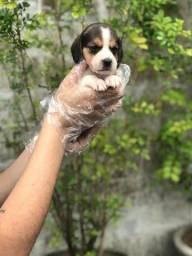Beagle: quer realizar seu sonho, pergunte me como!
