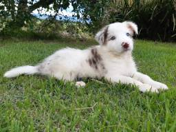 Border Collie Blue Merle com Pedigree!