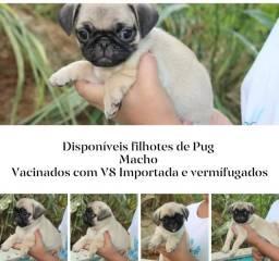 Disponível lindos exemplares de Pug (NÃO é doação)
