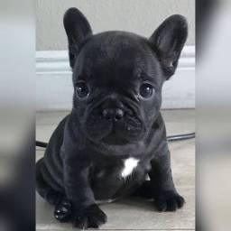 Bulldog Francês fêmeas e machinhos com pedigree e garantias de vida e saúde!