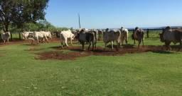 Vendo touros Nelore PO barato