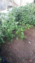 Mudas de pimenta