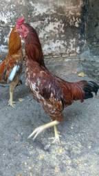 Galo indiano com caipira! Troco por galinhas caipiras!!