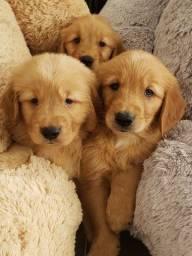 Golden - Filhotes a pronta entrega