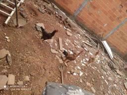 4 Galinhas , 2 frangos , 1 Galo