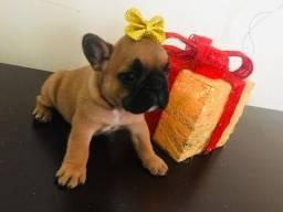Black Friday de Natal!!!! Bulldog Francês!!!