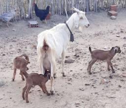 Título do anúncio: Vendo Cabra com trigêmeos.